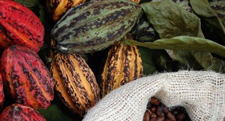 Zdravilni učinki surovih kakavovih zrn